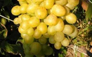Виноград «Восторг» (29 фото): описание мускатного белого, красного и черного сорта, отзывы