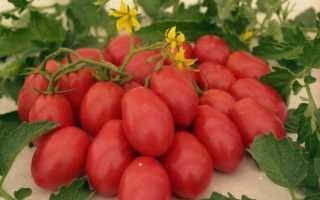 Особенности томата Чио-чио-сан. Отзывы тех, кто сажал, и фото