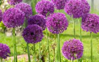 «Аллиум» (36 фото): посадка лука в открытом грунте и уход за декоративным цветком, виды травянистого растения и отзывы
