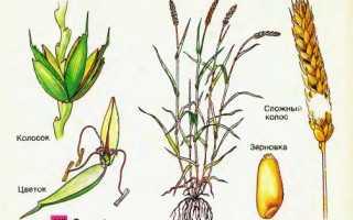 Выращивание пшеницы: как вырастить в домашних условиях, технология посева и возделывания, сколько зерен вырастает из одного зерна