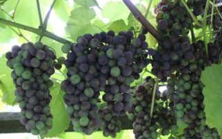 Виноград Изабелла – описание сорта, фото