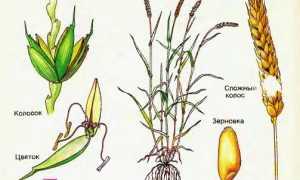 Колосья пшеницы (14 фото): количество зерен в колосе и отличия пшеницы от ржи, строение и болезни