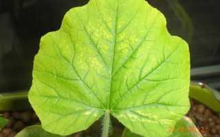 Причина бледно-зеленых листьев у огурцов (31 фото): почему появились дыры и что делать с корневой гнилью в теплице