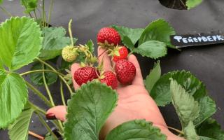 Клубника «Фейерверк» (15 фото): описание сорта садовой земляники и отзывы садоводов