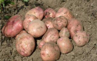 Картофель «Снегирь» (17 фото): описание сорта и характеристика, вкусовые качества и отзывы