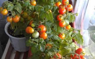 Помидоры «Черри» на подоконнике: выращивание на балконе, как получить большой урожай томатов в домашних условиях