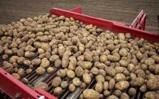 Описание сорта картофеля «Янка» (18 фото): характеристика, вкусовые качества и сроки созревания овоща, отзывы