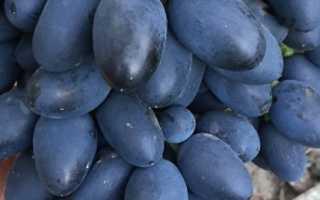 Виноград «Надежда АЗОС» (18 фото): подробное описание сорта, характеристика ранней плодовой культуры, отзывы