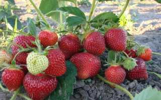 Подкормка клубники дрожжами: использование дрожжевого удобрения, рецепт приготовления для обработки и полива куста во время плодоношения