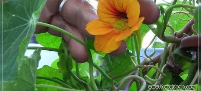 Настурция: полезные свойства и противопоказания, применение выращивание, посадка и уход