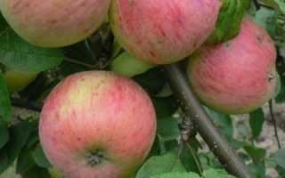 Яблоня «Уралец» (17 фото): описание сорта, посадка и уход, отзывы