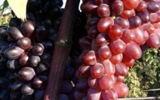 Виноград «Юпитер» (17 фото): описание неукрывного сорта «Кишмиша» из США, отзывы