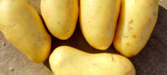 Описание сорта картофеля «Королева Анна» (24 фото): характеристика и отзывы