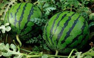 Как сажать арбузы семенами в открытый грунт? Особенности посадки и как правильно прорастить