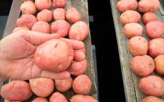 Описание сорта картофеля «Любава» (17 фото): характеристика и вкусовые качества овоща, отзывы