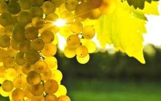 Морозостойкие сорта винограда (27 фото): неукрывные зимостойкие варианты для Московской и Ленинградской области, какие самые сладкие