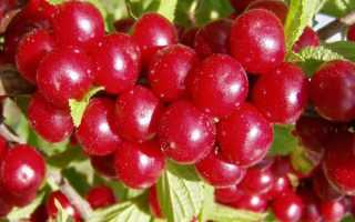 «Китайская» вишня (16 фото): полезные свойства «Китайки» («Войлочной»), размножение и уход
