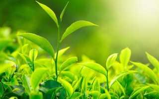 Зеленый чай (62 фото): польза и вред для организма человека, какой состав и какие свойства
