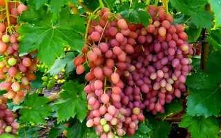 Виноград «Кишмиш лучистый» (37 фото): описание плодового морозостойкого сорта, посадка и уход, отзывы