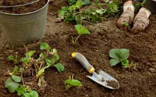 Пересадка клубники осенью (15 фото): как правильно пересадить куст на новое место весной, оптимальные сроки