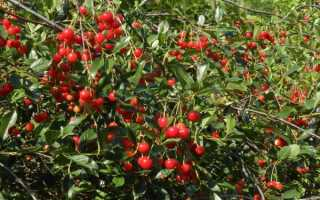 Вишня «Молодежная» (32 фото): описание сорта дерева, выбираем опылители, отзывы садоводов