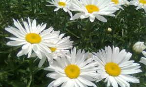 «Ромашка» махровая многолетняя (нивяник) (39 фото): сорта – французская, садовая, крупная и польская