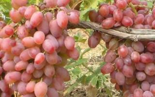 Виноград «Юлиан» (18 фото): характеристика и описание сорта, как выбрать саженцы, отзывы