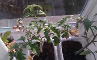 Сохнут листья у рассады помидоров: что делать, если белеют и засыхают кончики нижней листвы у томатов