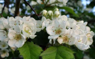 Цветки боярышника (26 фото): лечебные и полезные свойства, его применение и противопоказания, сбор во время цветения