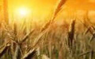 Мягкая пшеница: отличия от твердой пшеницы, ГОСТ