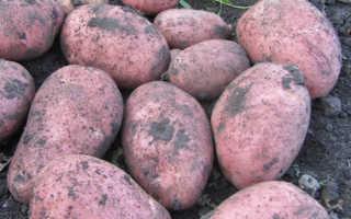 Картофель «Манифест» (20 фото): характеристика и описание сорта, вкусовые качества, урожайность и отзывы
