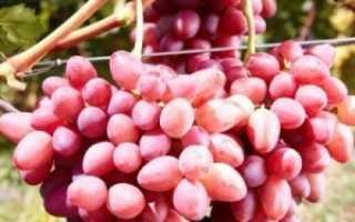 Виноград «София» (22 фото): описание плодового сорта, опылители и отзывы