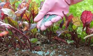 Чем подкормить свеклу? Подкормка в открытом грунте после всходов, чем удобрять для роста корнеплодов