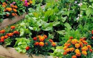 Бархатцы (Тагетес): полезные свойства и вред, применение и выращивание