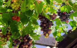 Подкормка винограда весной: чем подкормить растение и как удобрять лозу после открытия, весеннее внесение минеральных удобрений