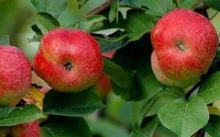 Яблоня «Горнист» (15 фото): описание сорта, посадка дерева, отзывы