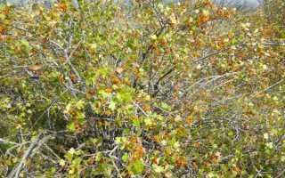Дикая смородина (15 фото): описание и полезные свойства реписа, рецепты из лесной черной ягоды