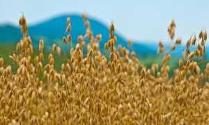 Овсяное масло: польза и вред, как принимать масло из овса, производство и свойства, применение для волос