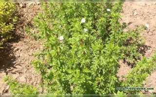 Курильский чай (39 фото): полезные свойства и противопоказания напитка, посадка и уход за кустарниковым растением,