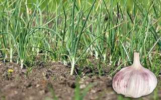 Чеснок желтеет весной (32 фото): что делать и почему это происходит в мае, чем полить