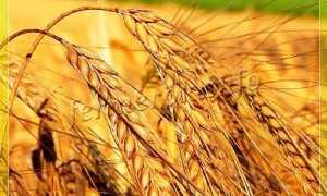 Озимый ячмень: сорта и технология выращивания, характеристика и описание ячменя «Базальт», «Фанки», «Шторм», отличия от ярового продукта