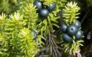 Рецепты из шикши: варенье, сок и компот из ягоды вороники на зиму. Какие заготовки можно сделать из водяники?
