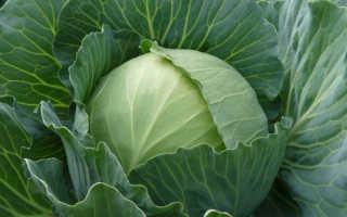 Капуста «Парел» (12 фото): описание сорта ранней белокочанной капустной культуры F1, отзывы