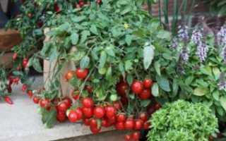 Томат «Линда F1» (22 фото): характеристика и описание сорта помидоров, высота куста, отзывы