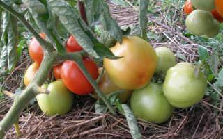 Томат «Ямал» (19 фото): характеристика, описание и урожайность сорта помидоров «Ямал 200», отзывы
