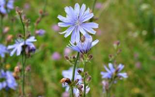 Растение цикорий (20 фото): как выглядит цветок, корень и трава, лечебные свойства, где растет в России