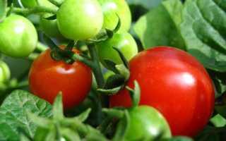 Ягода или овощ помидор? Что это такое, является ли фруктом плод томата