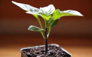 Почему у перцев чернеют листья? Что делать, если темнеют листы в теплице и начинают появляться