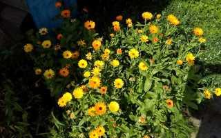 Выращивание календулы, её лечебные и декоративные свойства