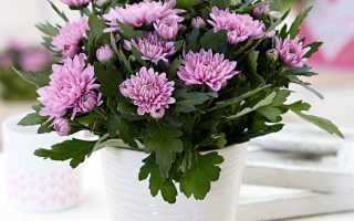 Уход за хризантемой в горшке в домашних условиях. Видео